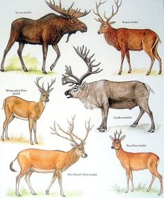 Male Moose, White Tailed Deer, Wapiti, Caribou, etc. Vintage 1984 Animal Book Plate