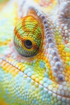 Colorful smile by Jörg Raddatz ~ Portrait of a Veiled Chameleon (Chamaeleo calyptratus) Les Reptiles, Reptiles And Amphibians, Beautiful Creatures, Animals Beautiful, Cute Animals, Green Animals, Veiled Chameleon, Chameleon Eyes, Fotografia Macro