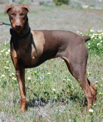 Firecracker is an adoptable Doberman Pinscher Dog in Tehachapi, CA. Firecracker is a very cute, small, female Doberman probably born in the late spring or early summer of 2010. She is red with cropped...