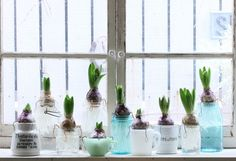 Maison Jars hiyasinnsu メイソンジャーで ヒヤシンスの水栽培 Glass Bottles, Glass Vase, Water Plants, Mason Jars, Spring, Interior, Garden, Flowers, Yoko