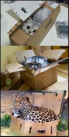 Big cat, little cat; they're all the same when it comes to boxes!