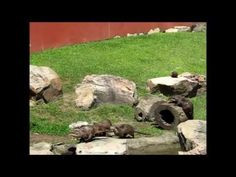 Trust me. You've never seen a cuter Otter video than these otters following a butterfly! #cuteanimalvideos #inspirationalvideos