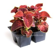 Coleus plant (Coleus blumei) has distinctive leaf shapes, patterns and colors. Stunning house plants, coleus plants are also easy to grow. Growing Plants Indoors, Growing Succulents, Planting Flowers, Easter Lily Care, Echeveria Care, Indoor Tropical Plants, Zebra Plant, Leaf Coloring, Growing Seeds