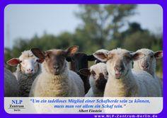"""""""Um ein tadelloses Mitglied einer Schafherde sein zu können, muss man vor allem ein Schaf sein."""" - Albert Einstein"""