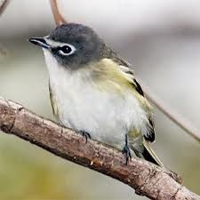 Blue-headed Vireo, Vireo solitarius, is a Neotropical migrating song bird. It has a range that extends across Canada and the eastern coast of the United-States, Mexico and some of Central America