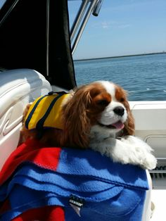 On the high seas Cavalier King Spaniel, Cocker Spaniel Mix, Cavalier King Charles Dog, Spaniel Dog, King Charles Spaniel, Cute Little Puppies, Adorable Puppies, Puppy Love, Cute Dogs