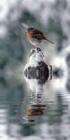 All Birds, Little Birds, Love Birds, Pretty Birds, Beautiful Birds, Animals Beautiful, Vogel Gif, Robin Bird, Tier Fotos