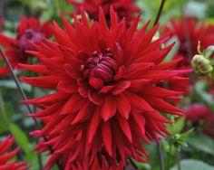 Name: Mainau (#248) Classification: Semi-Kaktus-Dahlien Color: rot Height: circa 130 cm Blossom size: 15 cm - 20 cm Grower, Year Bergerhoff, Otto (Germany), 1958