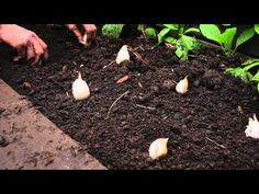 ▶ Onions. How To Grow, When To Harvest, How To Harvest, Storage. The life cycle of an onion. - YouTube