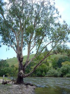 Gum tree, Australia