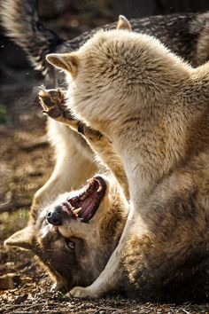 Humans fear the beast within the wolf because we do not understand the beast within ourselves. Wolf Spirit, Spirit Animal, Beautiful Creatures, Animals Beautiful, Jaguar, Tier Wolf, Of Wolf And Man, Animals And Pets, Cute Animals