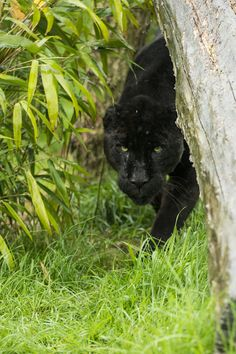 ˚Black Jaguar