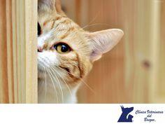Gatos en el motor del carro. LA MEJOR VETERINARIA DE MÉXICO. Si tienes gatos que andan merodeando por la casa y calle, es importante que antes de encender tu auto revises si no están en el área del motor, ya que por el calor que emiten, les encanta acurrucarse en estos lugares. En Clínica Veterinaria del Bosque te invitamos a visitar nuestra página web para conocer nuestros servicios. www.veterinariadelbosque.com #veterinariadelbosque