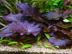 Column: Inrichten van het aquarium 2 Freshwater Aquarium Plants, Planted Aquarium, Big Fish Tanks, Aquarium Ideas, Life Aquatic, Terraria, Vivarium, Aquatic Plants, Aquascaping