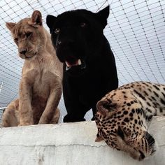 animal, panther, and aesthetic image Cute Creatures, Beautiful Creatures, Animals Beautiful, Animals And Pets, Baby Animals, Cute Animals, Fur Babies, Kittens, File Organization