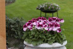 Elegance Jeanette #Franse #Geranium #Edelgeranie #Regal #Pelargonium #Grandiflorum #garden #plants #flowers