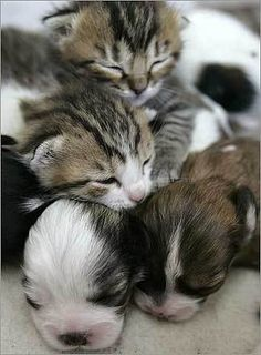 the ultimate life goal. puppies and kittens as best friends