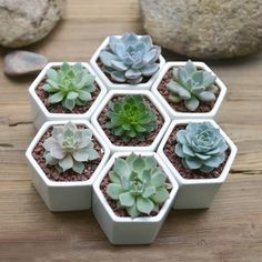 Hexagon Mini Planter Choice Of Succulent Or Cacti