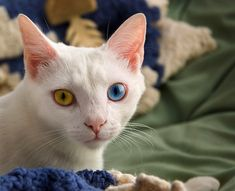 If you're going to have two different colored eyes, chances are you're a white cat. Odd-eye color is more common in white cats and has also been long prized and selected for by breeders
