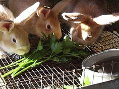 Cremes eating parsley - guide to naturally feeding rabbits Raising Rabbits For Meat, Meat Rabbits, Bunny Rabbits, Bunny Paws, Raising Quail, Rabbit Farm, Wild Rabbit, Rabbit Burrow, Rabbit Garden