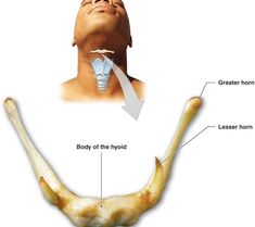 hyoid bone location and parts