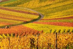 Autumn Vineyards in Beutelsbach, Stuttgart, Germany (The Sils new home! Can't wait to visit!)