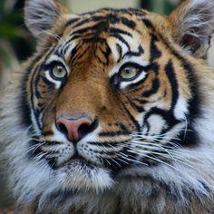 ~~Siberian Tiger by Steve Bullock~~