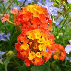 Bandana® Orange Sunrise Lantana '' -- Lantana