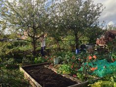 #Autumn #Allotment #Garden Clearing & sowing #green manure