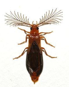 phengodidae | Phengodidae - Phengodes - male- Now I know what this beetle is I found in my bedroom.