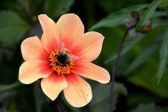#botanique #bourdon #butinage #faune #fleur #flore #insecte #la nature #ptales
