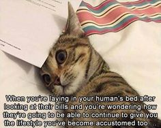 European shorthair, Dragon Li, Kitten, Whiskers, Image: When you're laying in your human's bed after looking at their they're going to be able to continue to give you the lifestyle you've become accustomed too bills and vou're wondering how