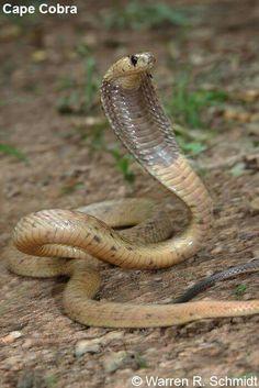 Naja nivea - Cape Cobra (Facebook) Planting Roses, Crocodiles, Snakes, Cape, Facebook, Animals, Mantle, Cabo, Crocodile