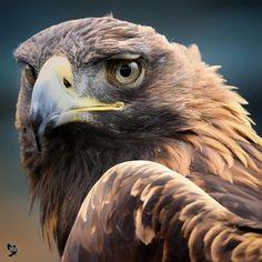 Raptor Bird Of Prey, Birds Of Prey, Beautiful Birds, Animals Beautiful, Cute Animals, Eagle Pictures, Animal Pictures, Exotic Birds, Colorful Birds