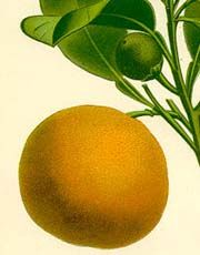 The high-energy scent of oranges is said to communicate the joy of angels to human beings. Orange peel is great for embodying the Sun in a mixture, whether pot pourri, tea, sachet, charm, etc. Like the Sun, orange peel lifts those who are down, helps the confused find direction, and gives new life to spiritual yearnings. Its scent is good for dealing with obsessive thinking and Sun-like, for turning us back to what is important.