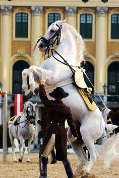 Spanish riding school of Vienna : Lipazzaner Stallions hopefully going here in 2 weeks !!