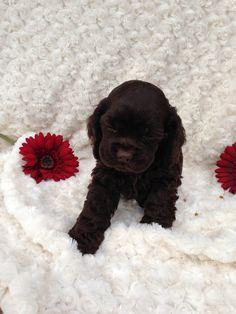 Dark Chocolate Cocker Spaniel Puppy