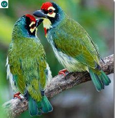 Cu rốc/Thầy chùa ngực đỏ tiểu lục địa Ấn độ và Đông Nam Á - Crimson-breasted barbet/Coppersmith barbet (Megalaima haemacephala)(Megalaimidae) IUCN Red List 3.1 : Least Concern (LC)(Loài ít quan tâm)