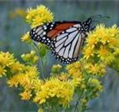 """The Truth About Goldenrod!""  Goldenrod plant, some facts about this plant, the health and medicinal properties, and why its considered a great natural herbal remedy.  The goldenrod plant is a member of the daisy family and native to Europe and Asia.  Goldenrod has many times unfairly blamed for producing hay fever in humans. READ MORE @ www.organic4greenlivings.com"