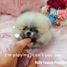 Teacup Pomeranian Puppy, Micro Teacup Puppies, Tiny Puppies, Yorkie Puppy, Cute Puppies, Corgi Puppies, Husky Puppy, Bear Dog Breed, Teddy Bear Dog
