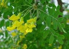Bildresultat för caragana arborescens