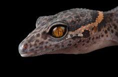 Geco delle grotte  Fotografia di Joel Sartore, National Geographic    Poco si sa di Goniurosaurus luii, un rettile che abita aree rocciose coperte di foreste o arbusti. Negli ultimi anni è diventato molto popolare come animale da compagnia, soprattutto grazie alla sua vivace colorazione.