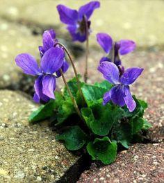 Violettes ❀❀❀