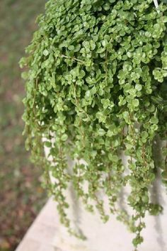 Ficus Pumila, Balcony Plants, House Plants, Cactus, Hanging Pots, Plantar, Botany, Garden Pots, Succulents