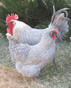 Lavender Orpington hen and rooster. Such beauties!