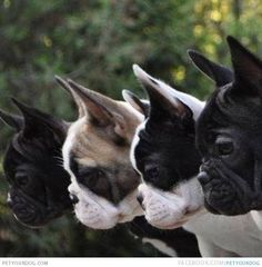 Maybe four Frenchies are enough?