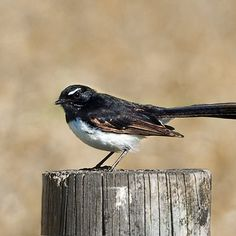 Willy Wagtail Bird, Photography, Animals, Photograph, Animales, Animaux, Birds, Photo Shoot, Animal