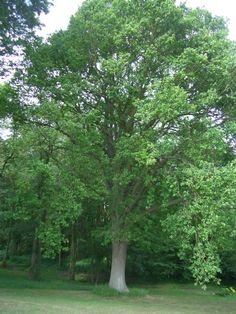 Big sturdy tree that is highly adaptable to various soils/climates. Deep green foliage turning yellow-brown in fall. Deciduous Trees, Flowering Trees, Garden Trees, Trees To Plant, Livable Sheds, Hello Hello Plants, B Tree, Summer Trees, Tree Images