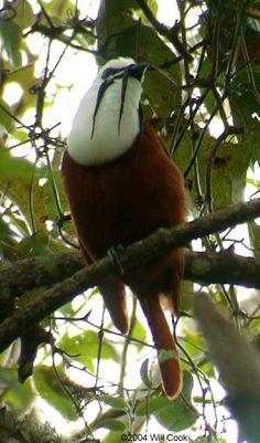 Three-wattled Bellbird (Procnias tricarunculata)   Panama