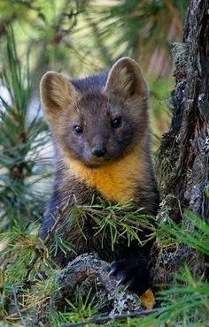 Pine Marten - belongs to the Mustilid family which also includes the Otter, Badger, mink, Weasel and Woldverine and is native to Northern Europe.